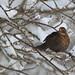 Blackbird & White Snow