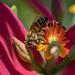 Honey Bee Nectaring on Jamaican Poinsettia (Euphorbia Punicea), Fairchild Tropical Botanic Garden. by pedro lastra