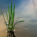 A simple Rice Plant