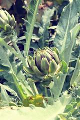 Artichoke (bud) growing on the field