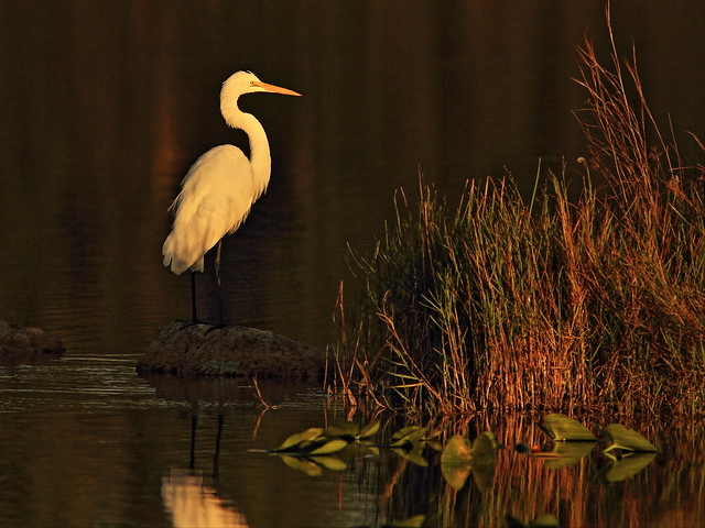 Great Egret 02-20141027