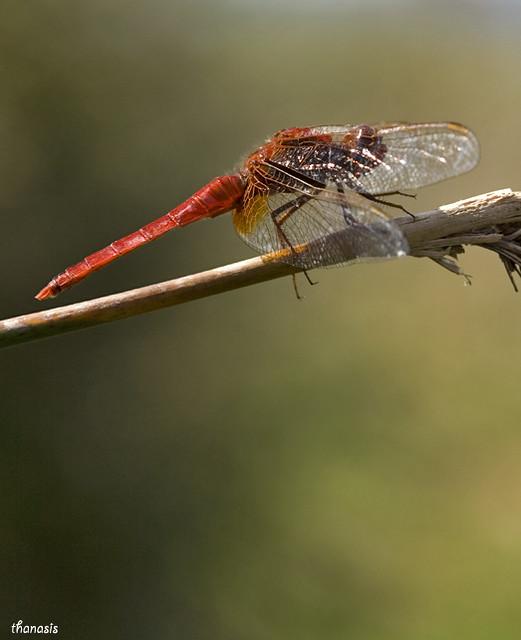 Scarlet Dragonlfy