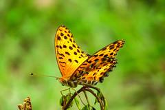 IMG_0245 黑端豹斑蝶