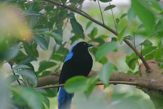 086 Indische blauwrug