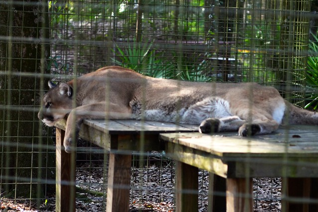 Lazy Cougar