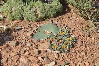 Euphorbia tuberosa Melkbol, wideramenas  ユーフォルビア ツベローサ
