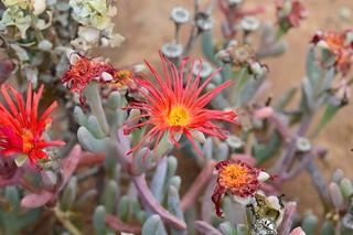 Astridia Louriesfontein