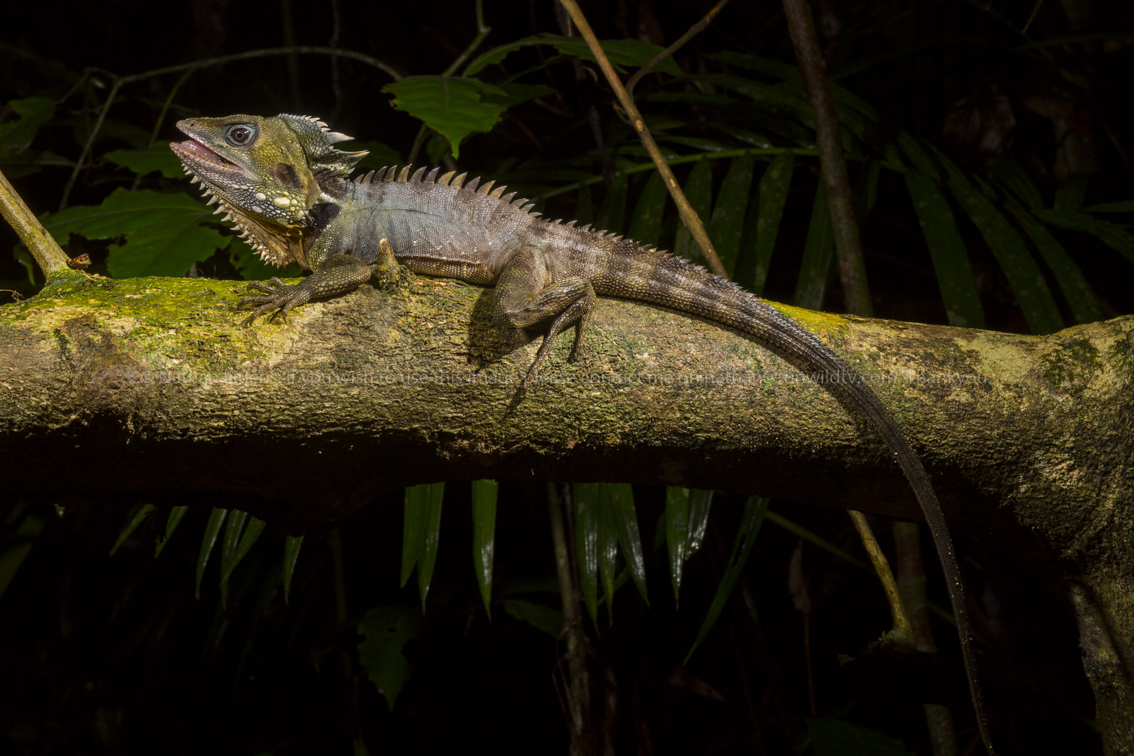 Male Boyd's forest dragon (Hypsilurus boydii)
