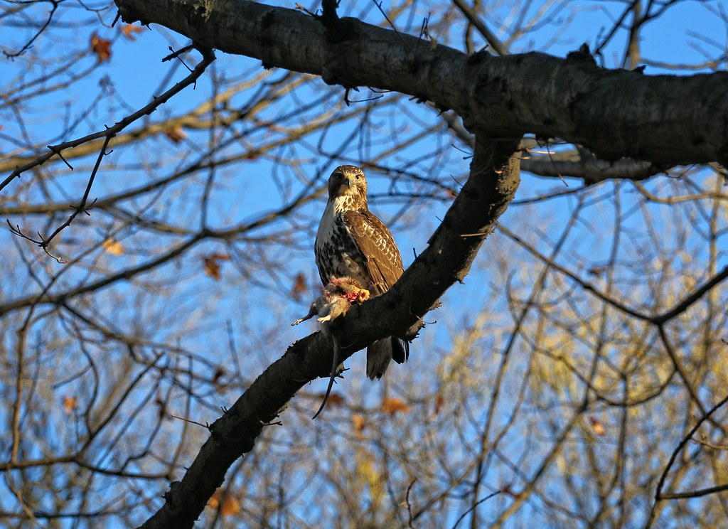 Juvenile red tail with rat in Tompkins Square