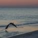 Grayton Beach Heron_-3