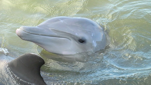 Atlantic Bottlenose Dolphins @ Dolphin-Research-Center, Grassy Key (Florida)