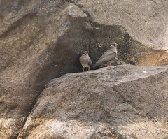 Rock Pratincoles - Glareola nuchalis