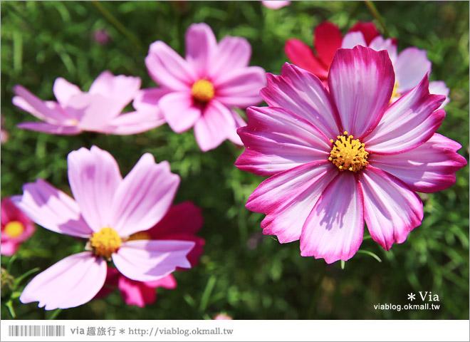【南新彩繪村】彰化埔鹽/南新立體彩繪村~隱藏版的花海圍繞整村,美景如畫!31