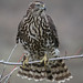 Northern Goshawk by ashockenberry