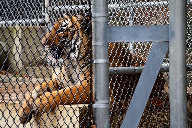 Tan the Tiger
