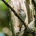 Spotted Flycatcher at nest by davepsemmens
