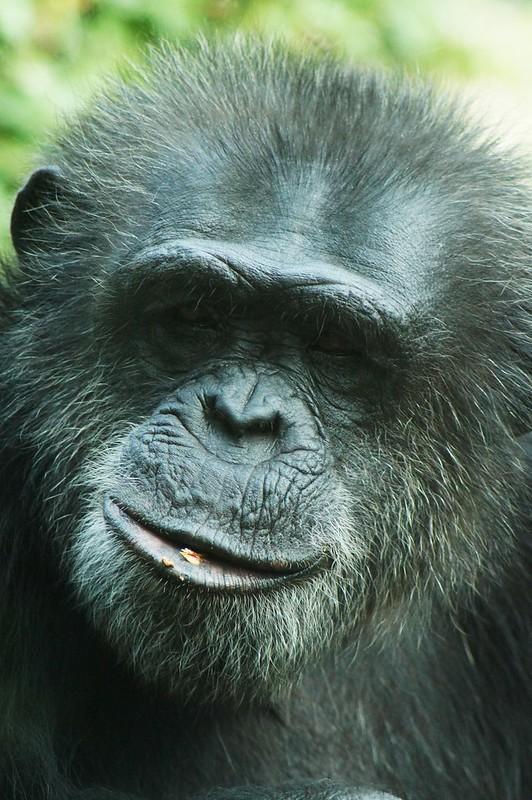 Chimpanzé (Pan troglodytes)