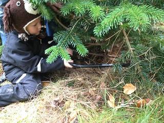 Hummer på tur i næstrup skov, der blev fældet 2 juletræer. Det var så hyggeligt og julestemningen er ved at være klar