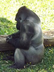 Família de Gorilas da Zoo-Botânica de BH