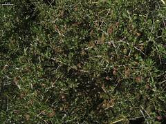 berry(0.0), flower(0.0), produce(0.0), evergreen(1.0), shrub(1.0), pistacia lentiscus(1.0), leaf(1.0), tree(1.0), plant(1.0), flora(1.0),