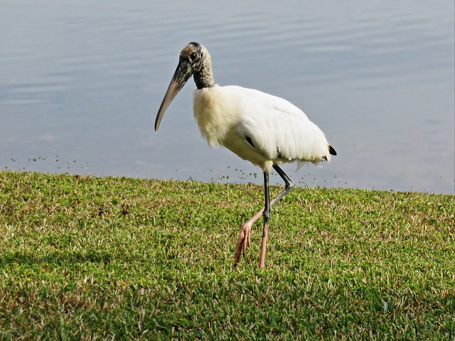 Wood Stork approaches 2-20141221