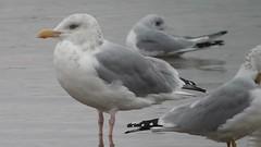 Herring Gull and Bonaparte's Gull @ Alum Creek beach