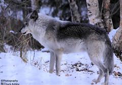 Silver Wolf W_8380