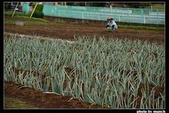 農地上種著蔥。圖片來源:munch