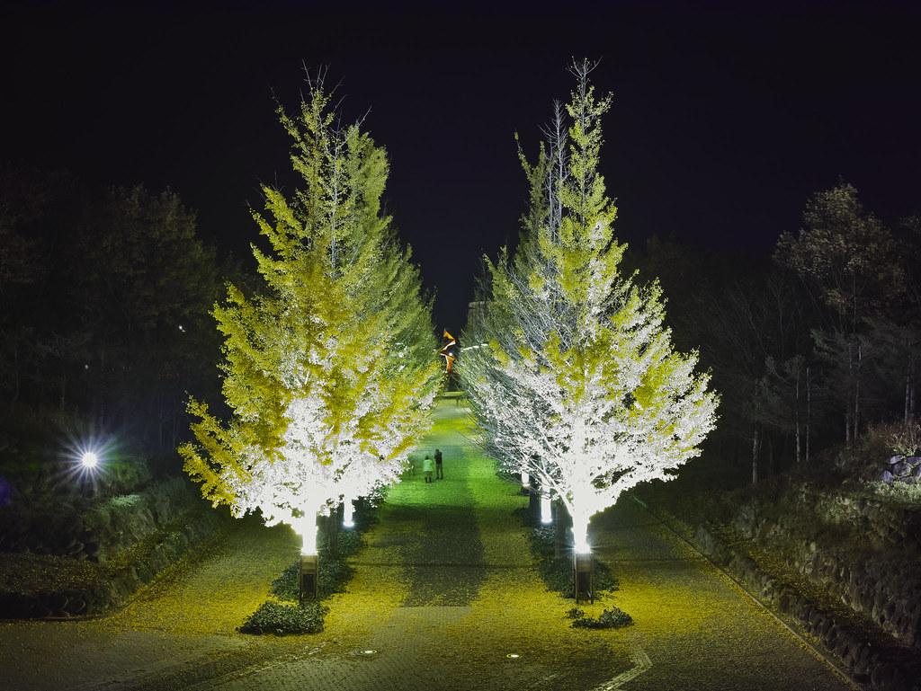 lined gingko biloba trees