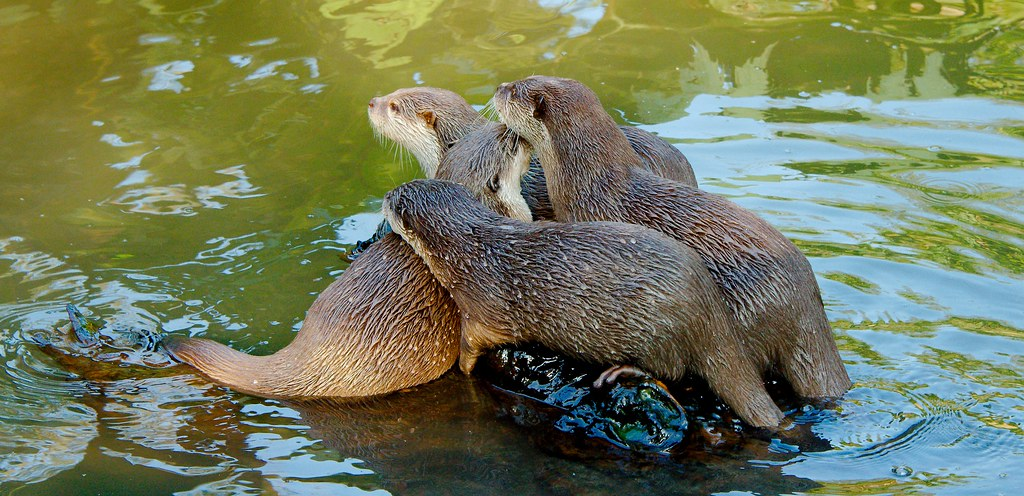 Asian small-clawed otter (Aonyx cinerea)_7