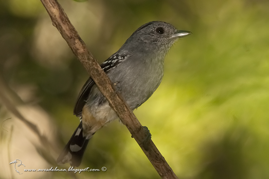 Choca Común (Variable Antshrike) Thamnophilus caerulescens