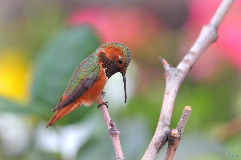Allen's Hummingbird-120114