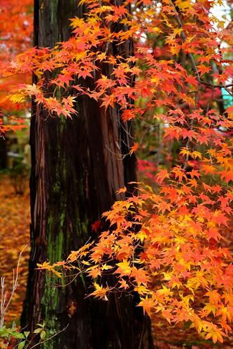 nature japan kyoto autumncolors 京都 紅葉 秋 もみじ 秋色 真如堂 shinyodoutemple 20141126dsc09463