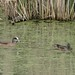 Small photo of American Widgeon pair