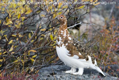 reefwondersdotnet posted a photo:Rock Ptarmigan Lagopus muta in fall plumage, the arctic tundra of Nunavik province in Northern Quebec, Canada
