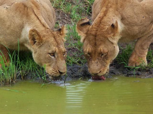 Leonas bebiendo en una charca en el Parque Nacional Kruger de Sudáfrica