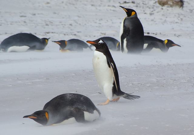 Gentoo penguin walks past some king penguins on a windy day.