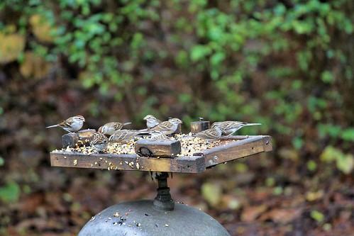 CrabAppleLane Chipping Sparrows - December 28, 2014