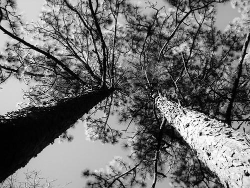 Between 2 Pines