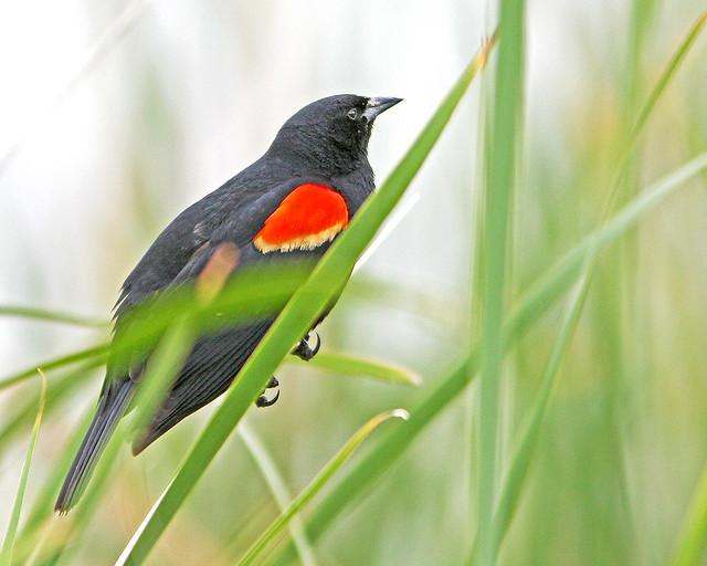 Red-Wing BlackBird 20d_2047