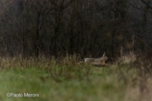 European Hare ( lepus europaeus)