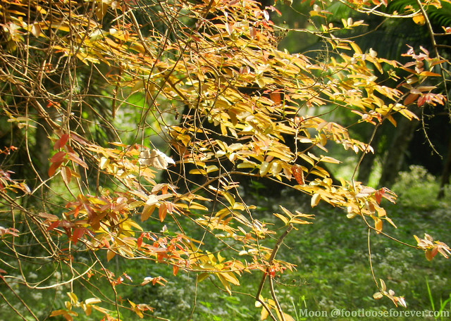 a leafy frame - Shibpur Botanical Garden #kolkata
