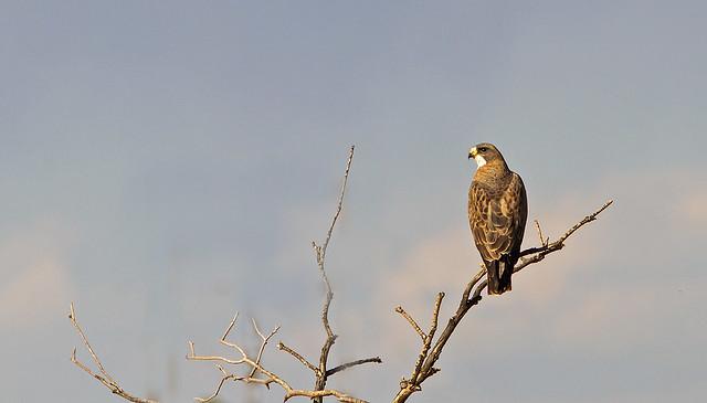 Swainson's Hawk_20d 1069