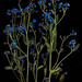 chinese forget me not on black by Samantha Forsberg