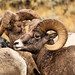 Big Horn Sheep, Jackson Hole, Wyoming by David C. McCormack