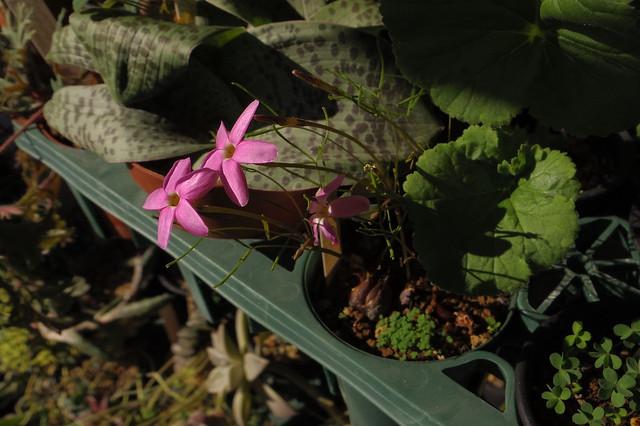 Oxalis phloxidiflora