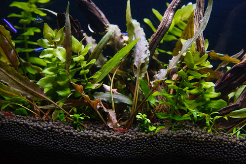 planted tank with cryptocoryne undulate and bocopa caroliniana