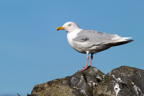 Great Black-backed Gull - Havstrut