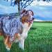 "Small photo of "" Red Merle"""" Australian Shepherd"""