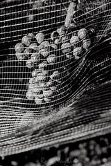 Grape Hidden Behind A Net
